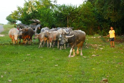 Kids with herd of buffalo